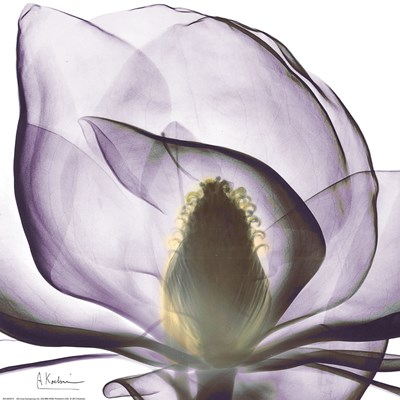 Purple Magnolia Poster by Albert Koetsier for $18.75 CAD