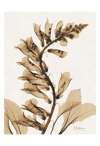 Aged Fox Glove Poster by Albert Koetsier for $22.50 CAD