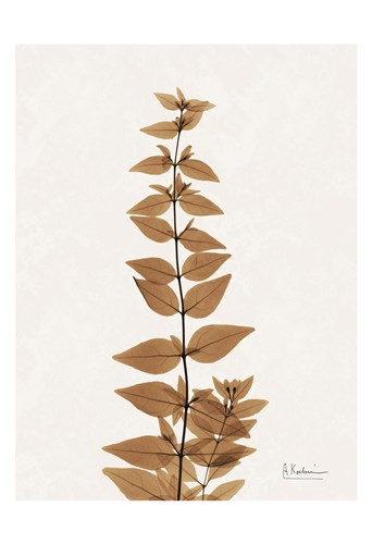 Aged Abelia Poster by Albert Koetsier for $22.50 CAD