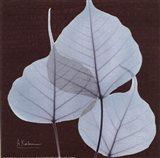 X-ray Leaf Study in Teal II
