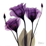 X-ray Royal Purple Gentian