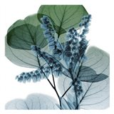 Lilly Of Eucalyptus 2