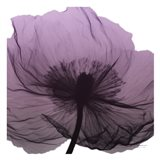 Poppy Purple