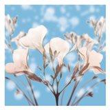 Ocean Oleander