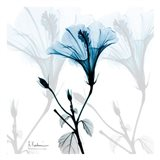 Hibiscus Azure