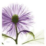 Lavish Purple Chrysanthemum