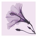 Lavender Passion Hibiscus