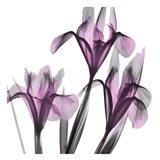 Dazzling Iris