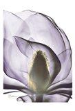 Purple Magnolia A43