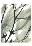 Eucalyptus Safari