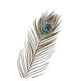 Peacock Single 1