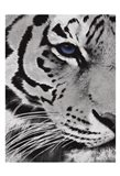 Tiger Purple Eye