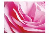 Rose Nahbereich 2