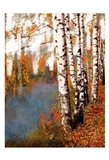 Birch Dream