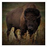 Vigilant Bison