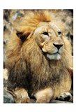 Lions Look