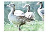 Goose crew