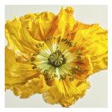 Yellow Poppy 1
