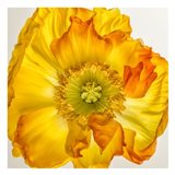 Yellow Poppy 2