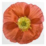 Vermilion Poppy