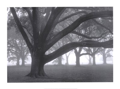 Oak Grove in Fog Poster by William Guion for $61.25 CAD