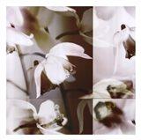 Cymbidium Orchid I