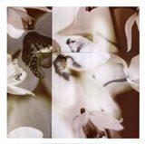 Cymbidium Orchid II
