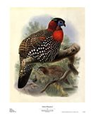 Native Pheasant I