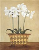 Amaryllis In Checkered Vase