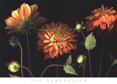 Orange Dahlia Garden Poster by Pip Bloomfield for $50.00 CAD