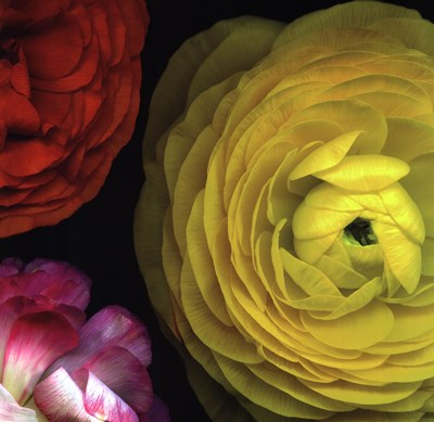 Ranunculus I Right Poster by Pip Bloomfield for $23.75 CAD