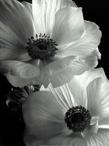 Anemone II Poster by Sondra Wampler for $21.25 CAD