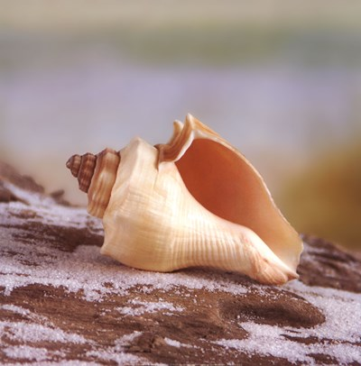 Shell & Driftwood IV Poster by Donna Geissler for $16.25 CAD