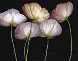 Cream Poppies