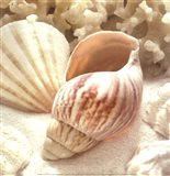 Coral Shell II
