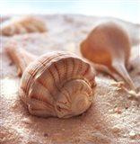 Beachy Shell III