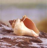 Shell & Driftwood IV