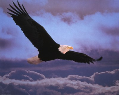 Bald Eagle In Flight Poster by Unknown for $20.00 CAD