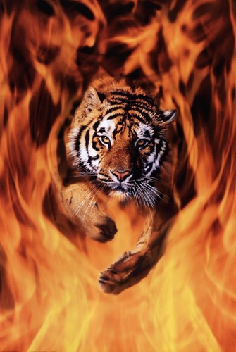 Bengal Tiger Jumping Flames Poster by Unknown for $26.25 CAD