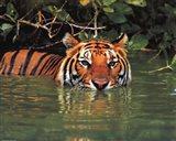 Tiger - water