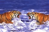 Bengal Tigers Roaring