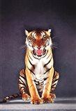 Tiger - gray