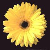 Gerbera Diasy Yellow