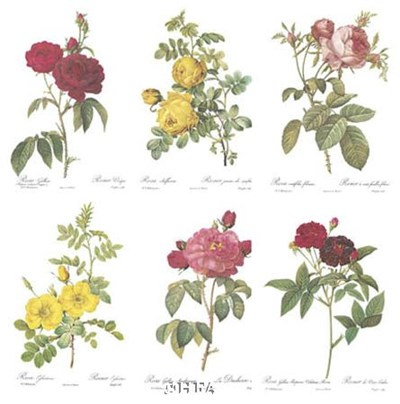 Roses (Set of Six) Poster by Pierre-Joseph Redoute for $25.00 CAD