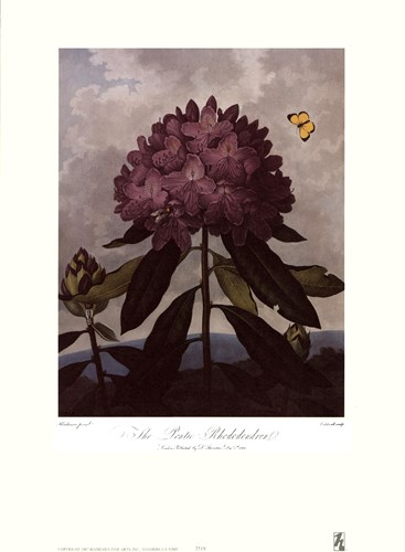The Pontic Rhododendron Poster by Robert John Thornton for $16.25 CAD