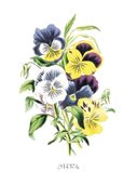 Flowers (Untitled) - Bouquet of Pansies