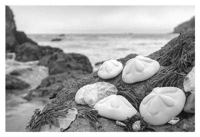 Crescent Beach Shells 4 Poster by Alan Blaustein for $85.00 CAD