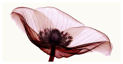 Anemone I Poster by Robert Coop for $113.75 CAD