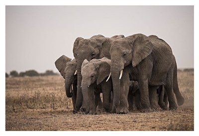 Elephant Family Poster by Eddie Soloway for $85.00 CAD