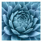 Silvery Blue Agave